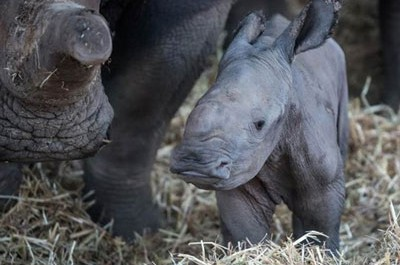 Israeli zoo welcomes newborn white rhino